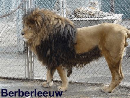 004 Berberleeuw