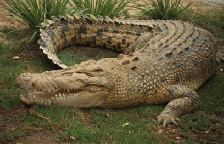 Krokodil spreekbeurt, Krokodil werkstuk