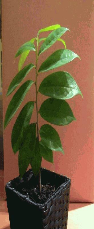 mijn zelf gekweekte Graviola boompje