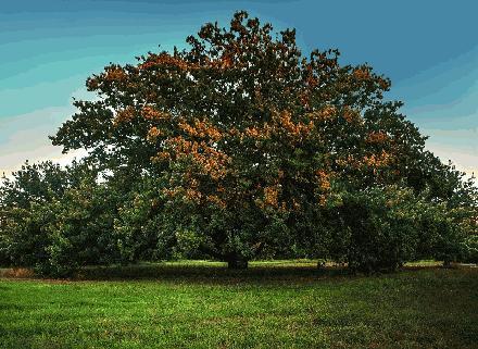 Algerian Oak