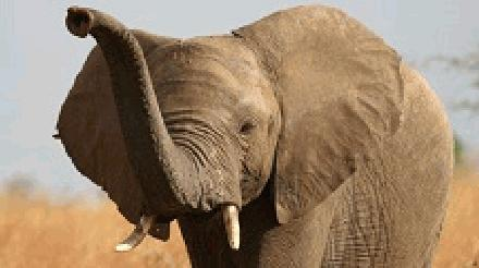North African Olifant
