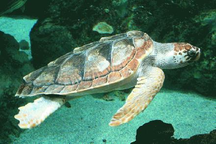 040 Onechte karetschildpad