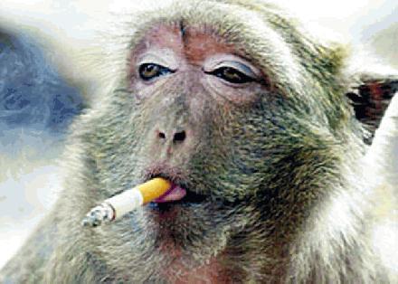 rokende aap