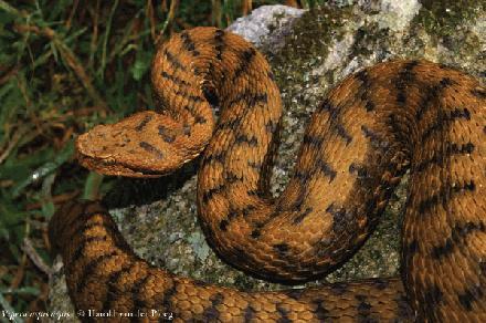 Atlas Mountain Viper