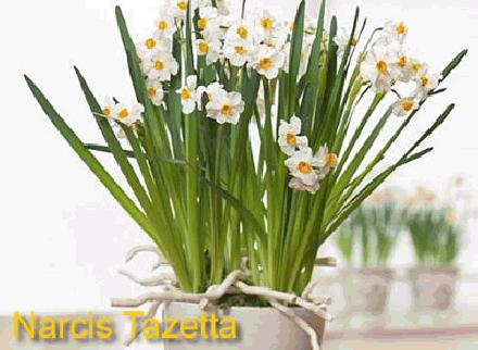 Goedkope Narcissen