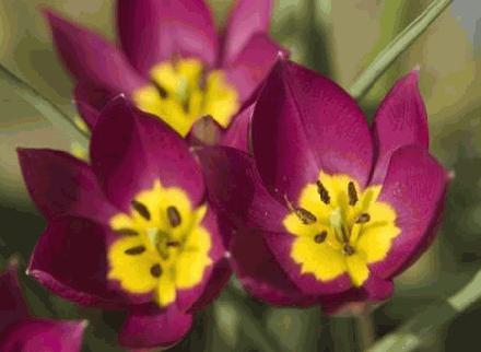 Botanische tulpen