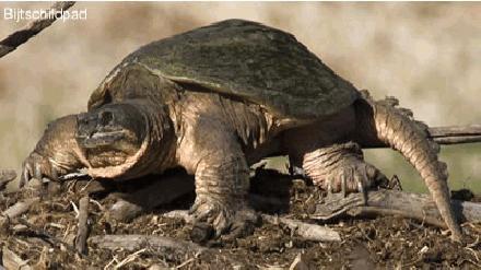 Schildpad spreekbeurt, Schildpad werkstuk.a