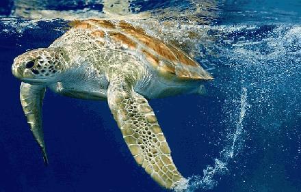 031 Platrugzeeschildpad