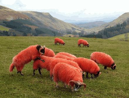 002 Oranje schapen