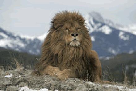 Barbary Leeuw in de Atlas Mountains