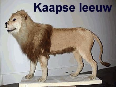 003 Kaapse leeuw
