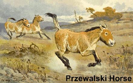 004 Przewalski Horse