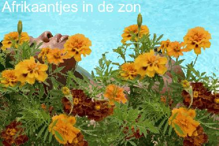 Tagetes Afrikaantjes in CHINA